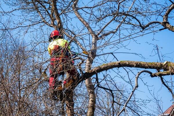 אלון גיזום - גיזום עצים