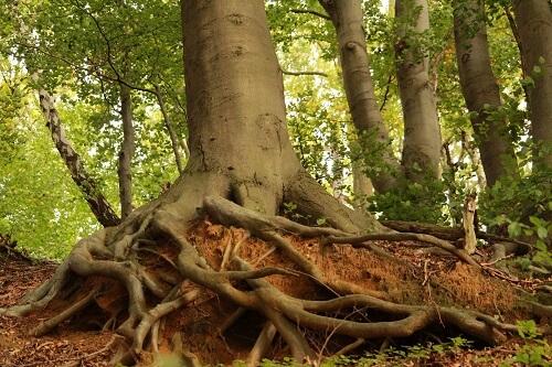 אלון גיזום - העתקת עצים