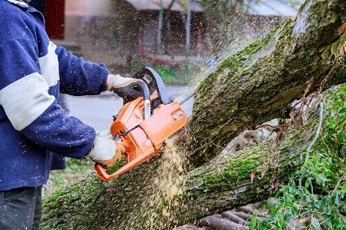 אלון גיזום כריתת עצים