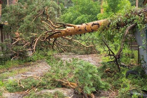 אלון גיזום - עצים מסוכנים